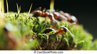 Macro footage with moving ants on green moss.