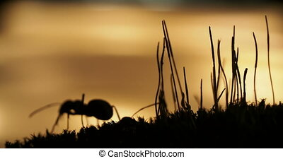Macro footage with moving ants on on sunset background.