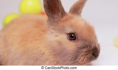 Macro funny video of a fluffy brown rabbit wiggling his nose, intently sniffing. Fast nimble bunny lurked, incredulous and out of his comfort zone. Easter bunny nose, sense of smell.