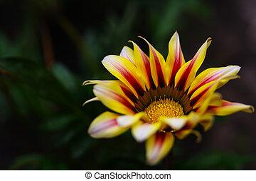 macro,  Gazania, flor, amarela, foto
