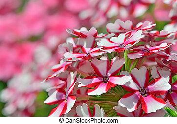 macro geranium flowers in garden