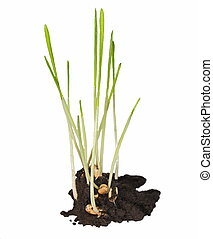 macro, germinación, grano de trigo