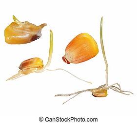 Macro germination of corn isolated