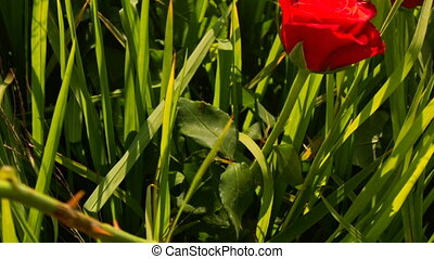 Macro Girl Hand Sticks Red Roses in Green Rice Field