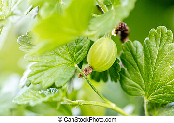 Macro, gooseberry on a branch with leaves, Ribes uva-crispa growth
