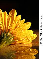 macro, gouttes pluie, coup, jaune, chrysanthème