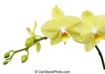Macro green orchid on white background