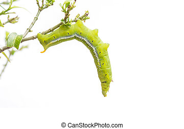 Macro green worm on the tree branch isolated on white...