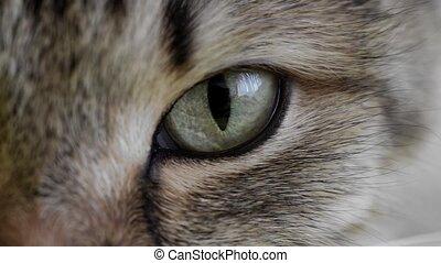 macro, gros plan, œil chat, extrême