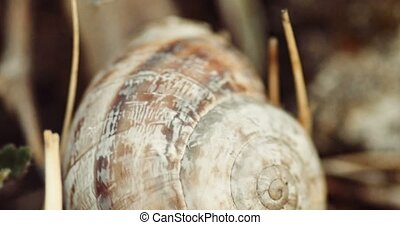 Handheld footage of garden snail on dry grass 4k footage -...