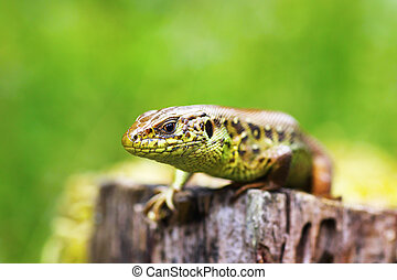 macro head of a male sand lizard ( Lacerta agilis, short...