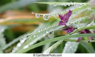 macro, herbe, fleur, gouttes, rosée