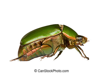 Leaf Chafer Beetle - Macro image of a golden green Leaf...