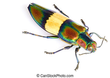 Jewel Beetle - Macro image of a Jewel Beetle, known...