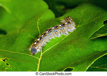 forest tent caterpillar moth - Macro image of forest tent...