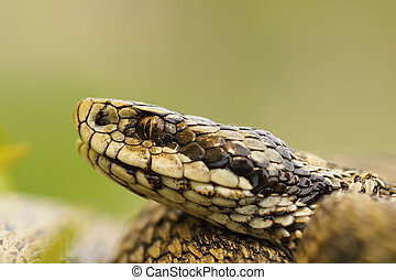 macro image of hungarian meadow viper head