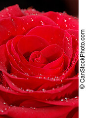 Macro image of red rose