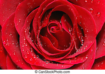 Macro image of red rose