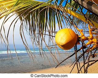 Macro image of ripe yellow coconut hanging on hte palm tree ...