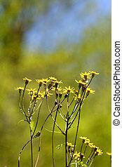 Macro image of small daisies