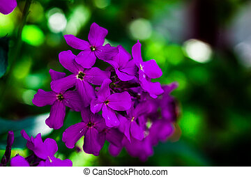 Macro image of spring lilac violet flowers, purple flowers in wild nature, spring-summer concept, flowers concept, spring garden, spring flowers
