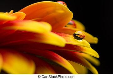 macro, jaune, gerber, baisses eau, rouges