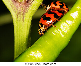 Macro-Ladybird ( Coccinella transversalis ) on green pepper...