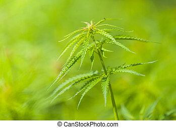 macro, marihuana, fuoco, foto, profondità, basso, piante