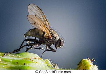 macro, mosca domestica