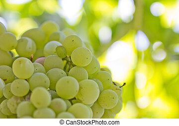 macro, nature., uvas verdes, maduro