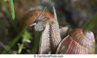 macro, niveau, terrestre, photo, escargot