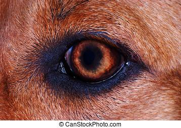 macro, oeil, chien