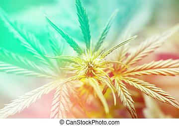 Macro of a cannabis flower and marijuana macro Light toning