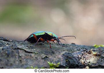 Carabus auronitens - Macro of a Carabus auronitens