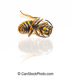 Macro of a dead wasp (Vespula vulgaris), isolated on white