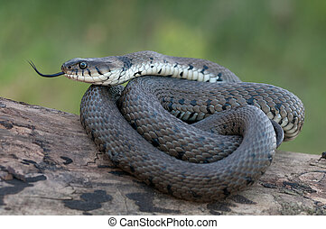 macro of a grass snake in the nature