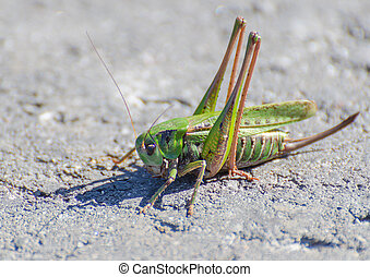 Macro of a grasshopper on the road