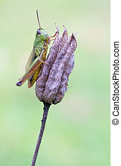 green grass hopper