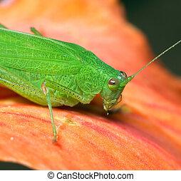 Macro of a green grasshopper on a orange flower