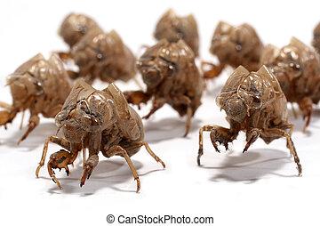 Macro of a group of larval cicada shed exoskeleton on white