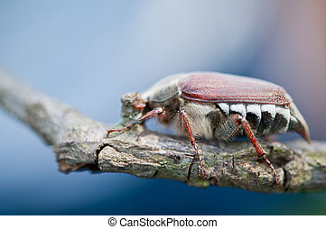 macro of a Melolontha melolontha - Cockchafer - macro of a...