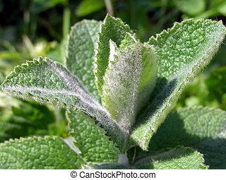 macro of a mint plant
