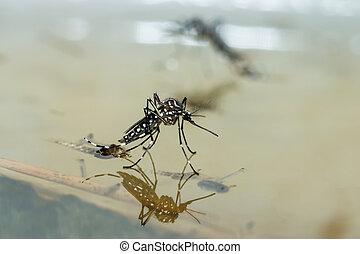 Macro of a Mosquito on water