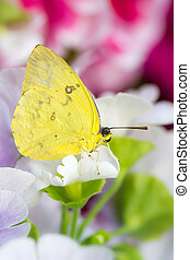 Macro of a orange-barred sulphur butterfly on a flower blossom