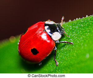 Macro of a red ladybird on green leaf