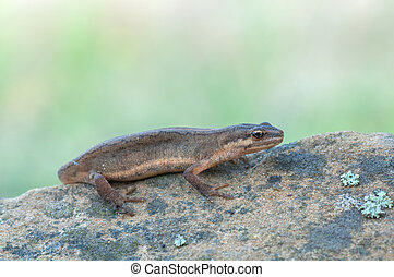 macro of a Smooth Newt