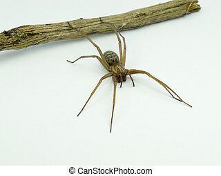 macro of a spider (Lycosidae Licosas) on a branch with white background