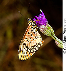 Macro of a spotted orange butterflysitting on a purple flower