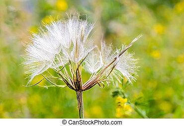 Tragopogon - Macro of a Tragopogon in the meadow, under the ...