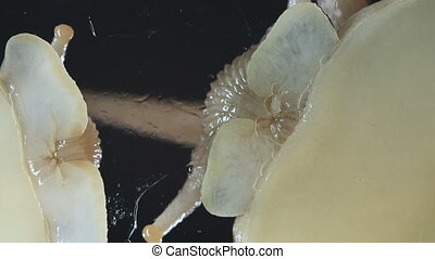 Macro of Achatina snails on black background - Video of...